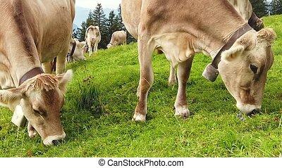 SLOW MOTION: cows without horns in alpine meadow along Rigi-Scheidegg railway trail looking at Swiss Alps, Schwyz basin, Lake Lucerne. Unterstetten village in Canton of Lucerne, Central Switzerland.