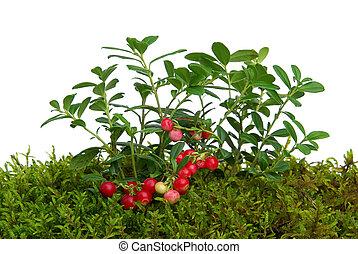 cowberry 01