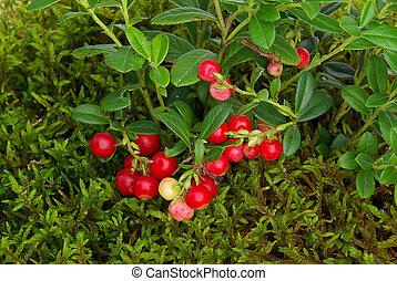 cowberry 02