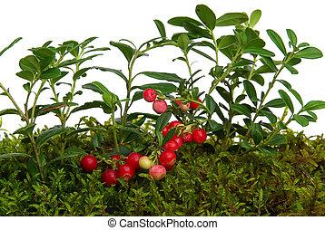cowberry, 04