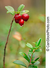 Cowberry. A cowberry on a green vegetative background in wood.