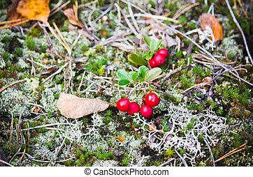 cowberry, cima, arbustos, fim, Bagas, vermelho