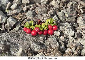 Cowberry growing on stony soil