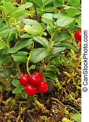 cowberry plant 17