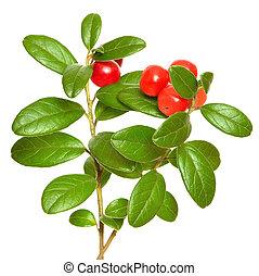 Cowberry (Vaccinium vitis idaea) plant isolated on white...