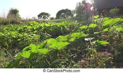 cowboy guy spray vegetables in farm field. Chemical plants...