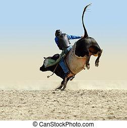 Cowboy Riding a Large Fresian Bull