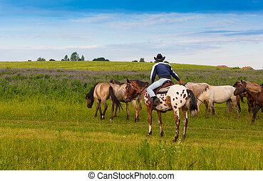 cowboy, su, uno, skewbald, cavallo, guida, gregge cavalli