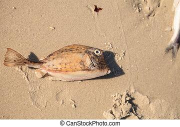 cowfish, acanthostracion, scrawled, quadricornis, marea, muerto, tiene, rojo