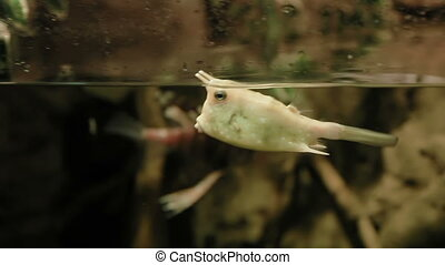 Cowfish (Lactoria cornuta). Poisonous funny fish floating in...