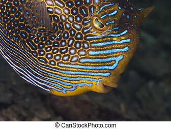 cowfish, (male), florido