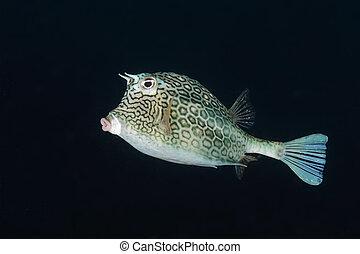 cowfish, panal