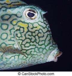 cowfish, primer plano, panal