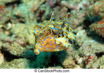 cowfish, thornback