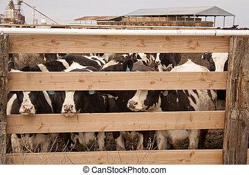 cows, в, ручка