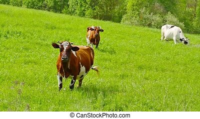 cows, луг