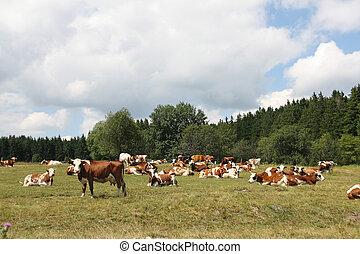 cows, на, выгон
