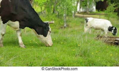 cows, пасти, луг, grazing