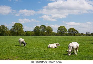 cows, сельский, белый, пейзаж