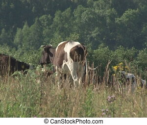 cows agricultural meadow - Cows graze in agriculture meadow...
