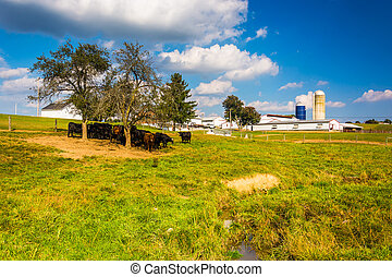 Cows and barn on a farm in rural York County, Pennsylvania.