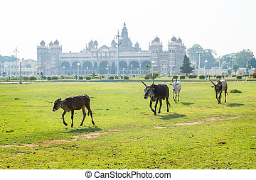 Cows and bulls walking in the garden of Mysore Palace, India