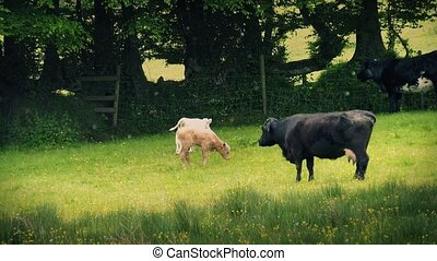 Cows And Calves In Sunny Meadow