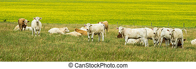 Cows and canola field