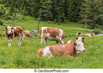Cows and cattle on a pasture in Austria