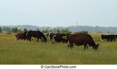 Cows and horse feeding on meadow