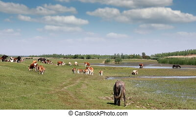 cows and horses on pasture near river