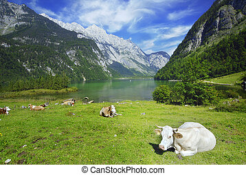 Cows and Koenigssee - Beautiful Alpine landscape with cow...