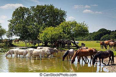 Cows and ponies at lake
