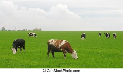Cows are grazed on green meadow and eat grass in afternoon,...