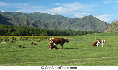 Cows are grazed on meadow. Mountain landscape