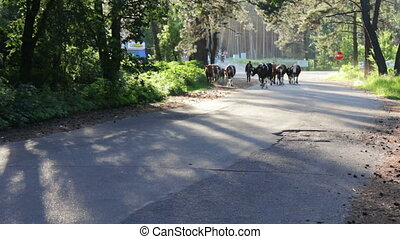Cows are on the road.