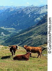 Cows at the Galibier pass, France