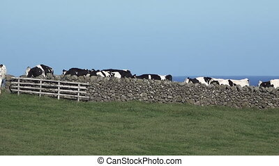 Cows behind rock fence - Cow cattle walking behind rock...