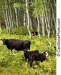 Cows - Black cows grazing on the forest floor in Kebler Pass...
