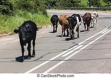 Cows Cattle Road Danger