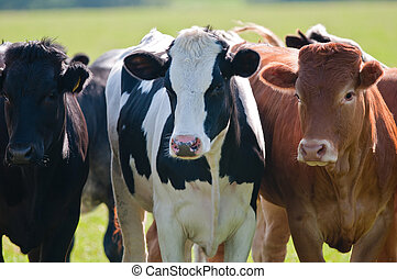 Close up of 3 cows