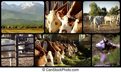 cows, collage - Cows in stable eating straw. Farming.