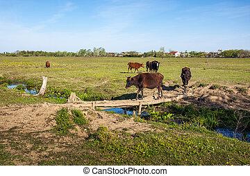 Cows cross a wooden bridge on a small river