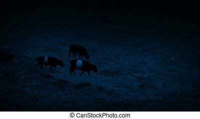 Cows Crossing Hillside In Heavy Rain At Night