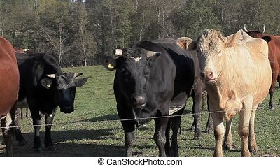 Cows eat grass in meadow