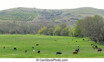 Cows eat grass on the field at the mountain. - A herd of...