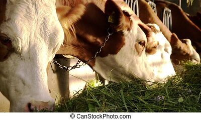 cows eating - Cows in stable eating straw. Farming.
