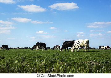 cows eating grass