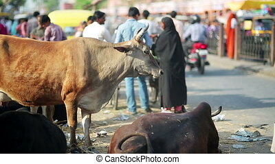 Cows eating litter in street - Everyday scene with cows...