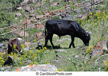 Cows feed in the mountains